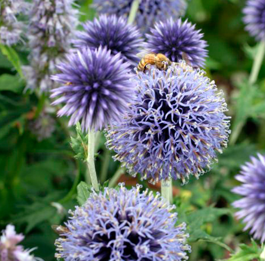 A decorative image of a bee pollinating a thistle.